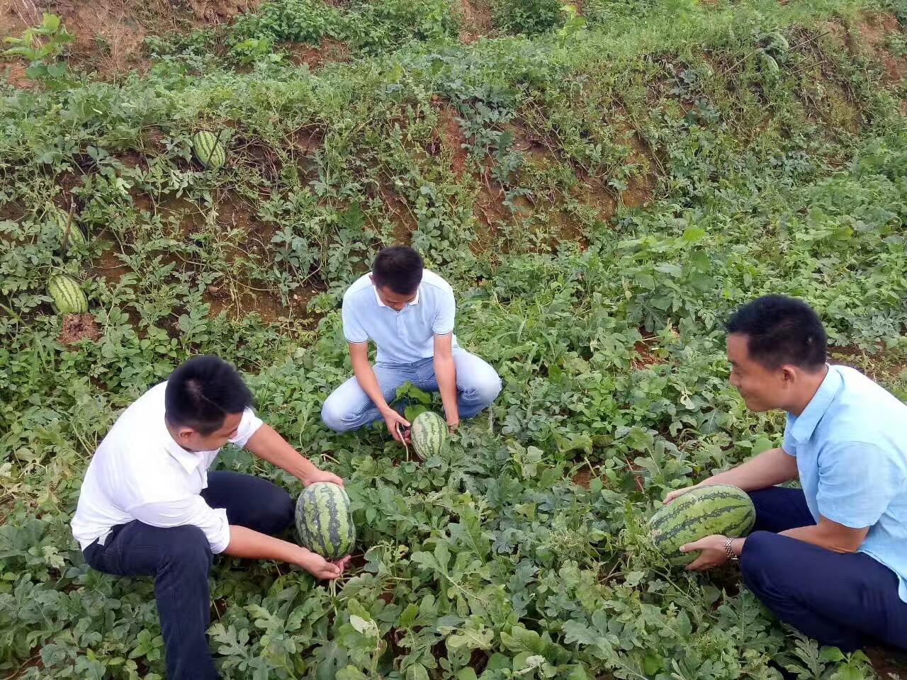 深圳周边农家乐松岗菜博士农场采摘西瓜