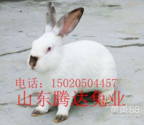 八点黑种兔
