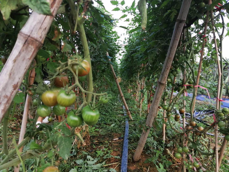 绿野生态园自种番茄