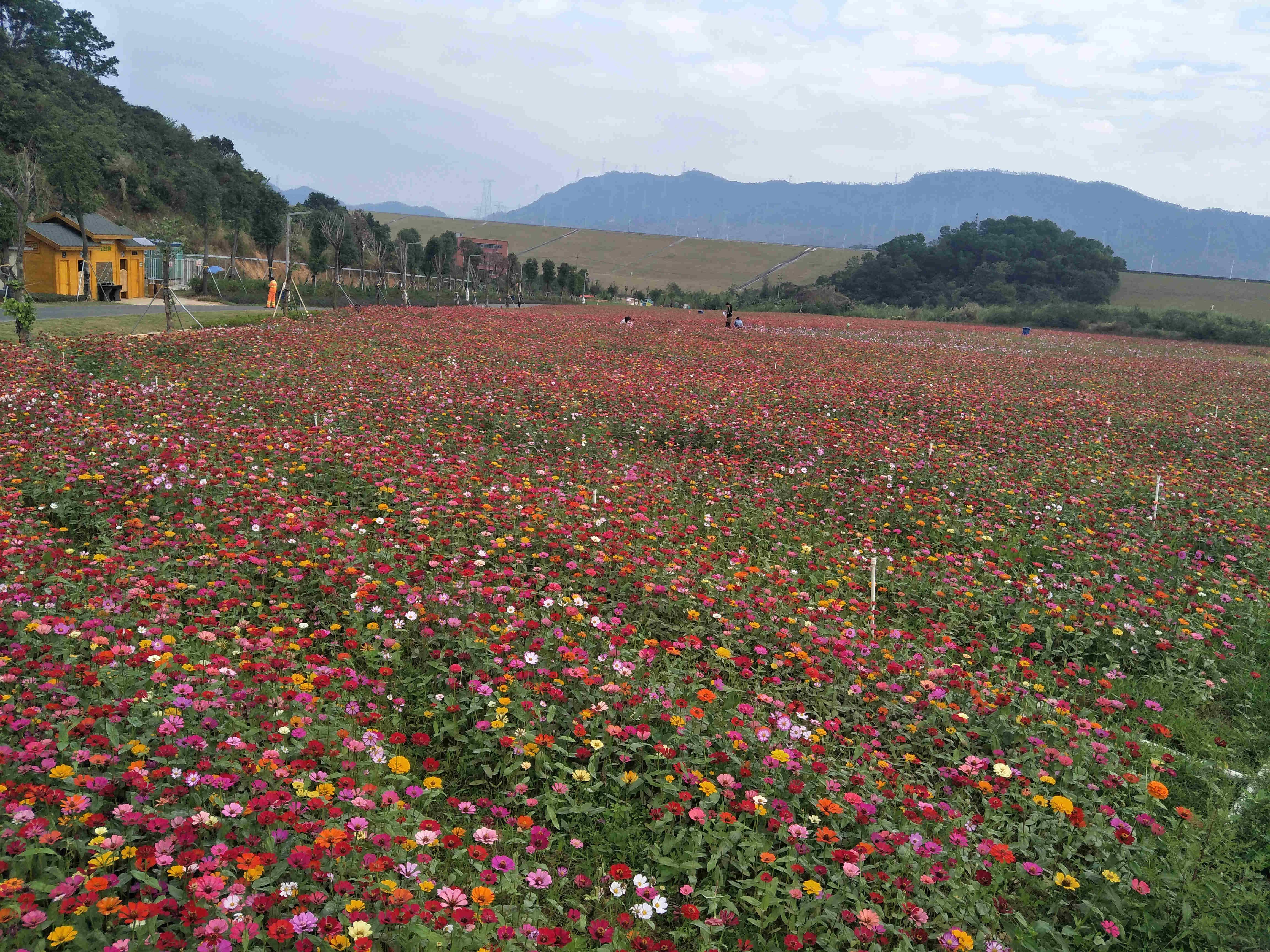 深圳农家乐-乐湖生态园休闲康体项目:千亩花海观光拍照