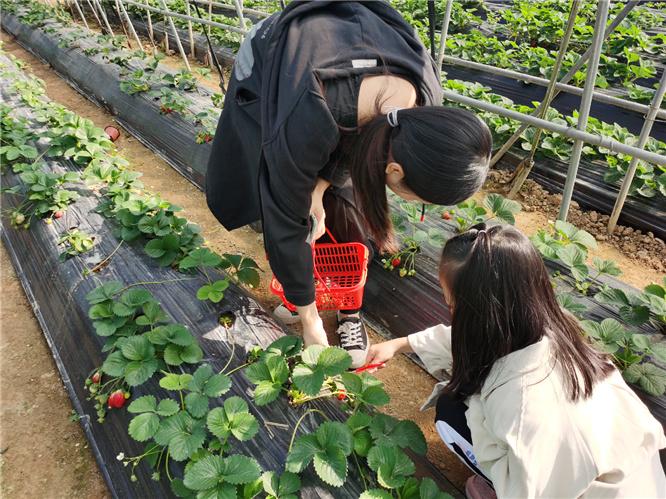 乐水山庄摘草莓
