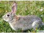 今日比利时兔最新养殖技术