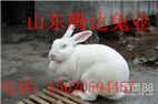 菏泽獭兔价格