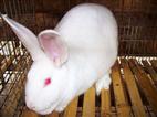 河南大型种兔养殖