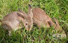 发展致富项目养殖比利时兔