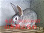 青紫蓝种兔养殖批发