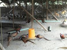 野鸡养殖基地