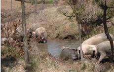 生态放养猪基地