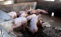 圈养土猪基地