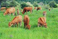 黄牛养殖基地