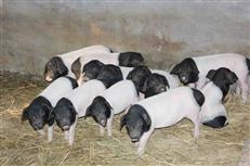 华东两头乌熟食猪养殖基地