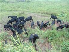 黑山羊养殖基地