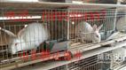 杂交优质新品种商品兔