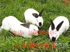 山东省种兔繁育基地