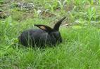 优质莲山黑兔