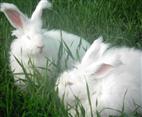 最新长毛兔养殖方法