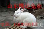 种兔獭兔美系獭兔养殖