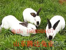 伊拉兔与八点黑种兔是一种吗