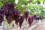 乐湖生态园葡萄