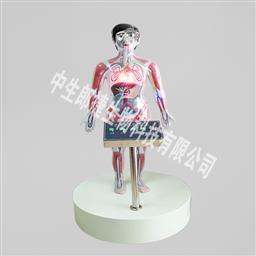 人体血液循环模型