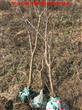 5公分石榴树出售中