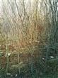 哪里有卖石榴树 果苗 树桩 古树枝 蚌埠怀远心晴石榴苗圃1公分 2公分石榴树苗3月19日销售350棵