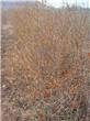 买石榴树到怀远心晴石榴苗圃 酸甜石榴果实大 产值高13956376345