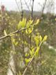 红石榴树和白石榴树发芽了
