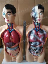 禁毒模型人体危害器 官前后对比