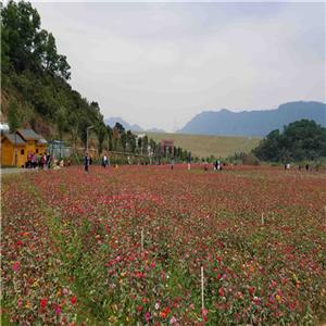 深圳乐湖生态园:千亩花海观光拍照